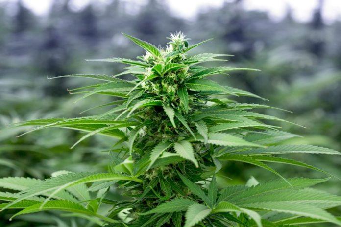 1.Medizinisches20Cannabis 696x464 - Patientenwissen fließt in Entwicklung ein: Wie medizinisches Cannabis von imc aus Israel den deutschen Markt erobert