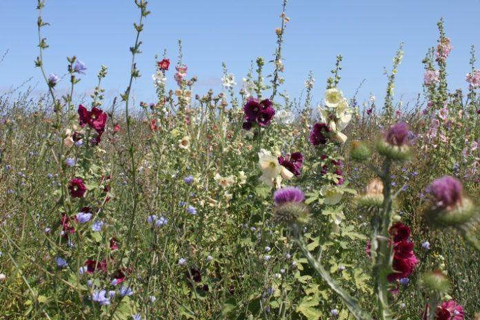 Wildpflanzenmischungdia Marzini LWG 696x464 - Stromerzeugung, Klima-, Umwelt- und Insektenschutz schließen sich nicht aus! / Deutscher Imkerbund ist wieder Partner der Aktionswoche Artenvielfalt