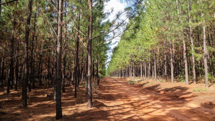 image slider wide pine plantations 696x391 - Mit gutem Beispiel voran / Nachhaltige Waldbewirtschaftung schützt die wertvollen Ökosysteme unseres Planeten. Faber-Castell macht vor, wie Ökologie und Ökonomie zusammenpassen