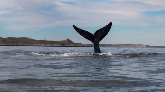 Ballenas20 20Puerto20Piubut optimizado 696x391 - Die Pinguine sind los: Saisonbeginn der Meerestierbeobachtungen in Patagonien