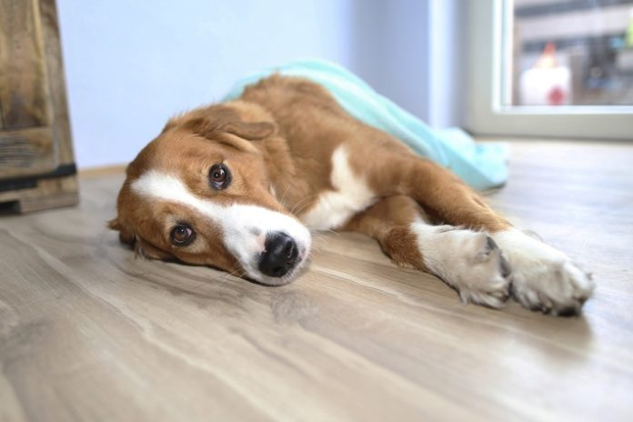 Epilepsie Hund 696x464 - Epilepsie: Gewitter im Kopf / Die Epilepsie ist eine schwere Erkrankung bei - ansonsten gesund wirkenden - Hunden